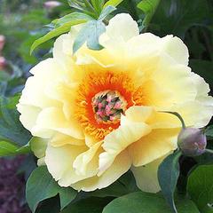 Пион ИТО-гибрид Garden Treasure