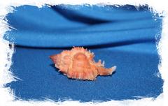 Раковина Chicomurex Venustulus, Chicoreus gloriosus, Мурекс венустулус