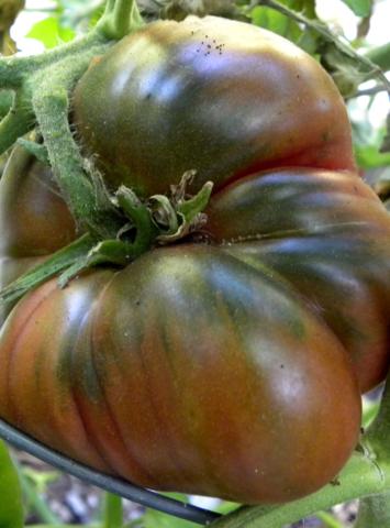 Семена Томат Гигант Кубы (Cuba giant black), 10 сем