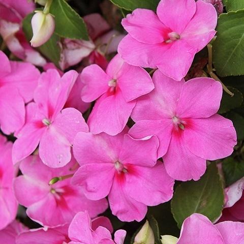 Бальзамин светло-розовый