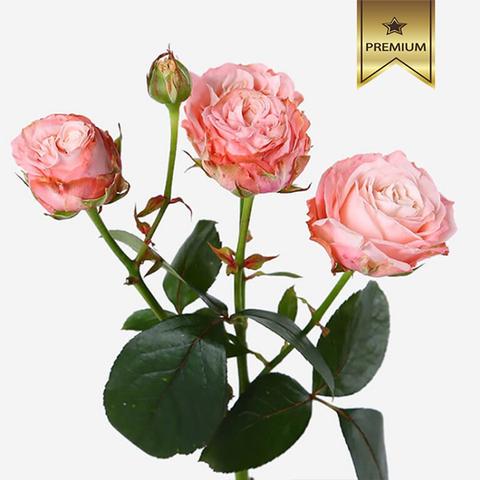Розы кустовые пионовидные Madam Bombastic от 5шт