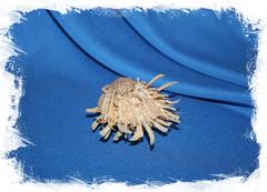 Морская двустворчатая ракушка Spondylus variegatus