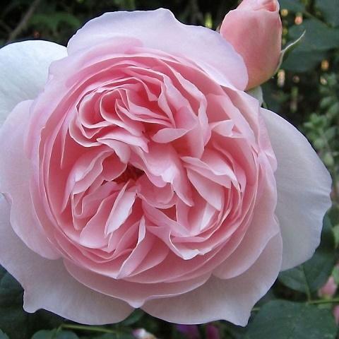 Роза английская душистая Херитэйдж