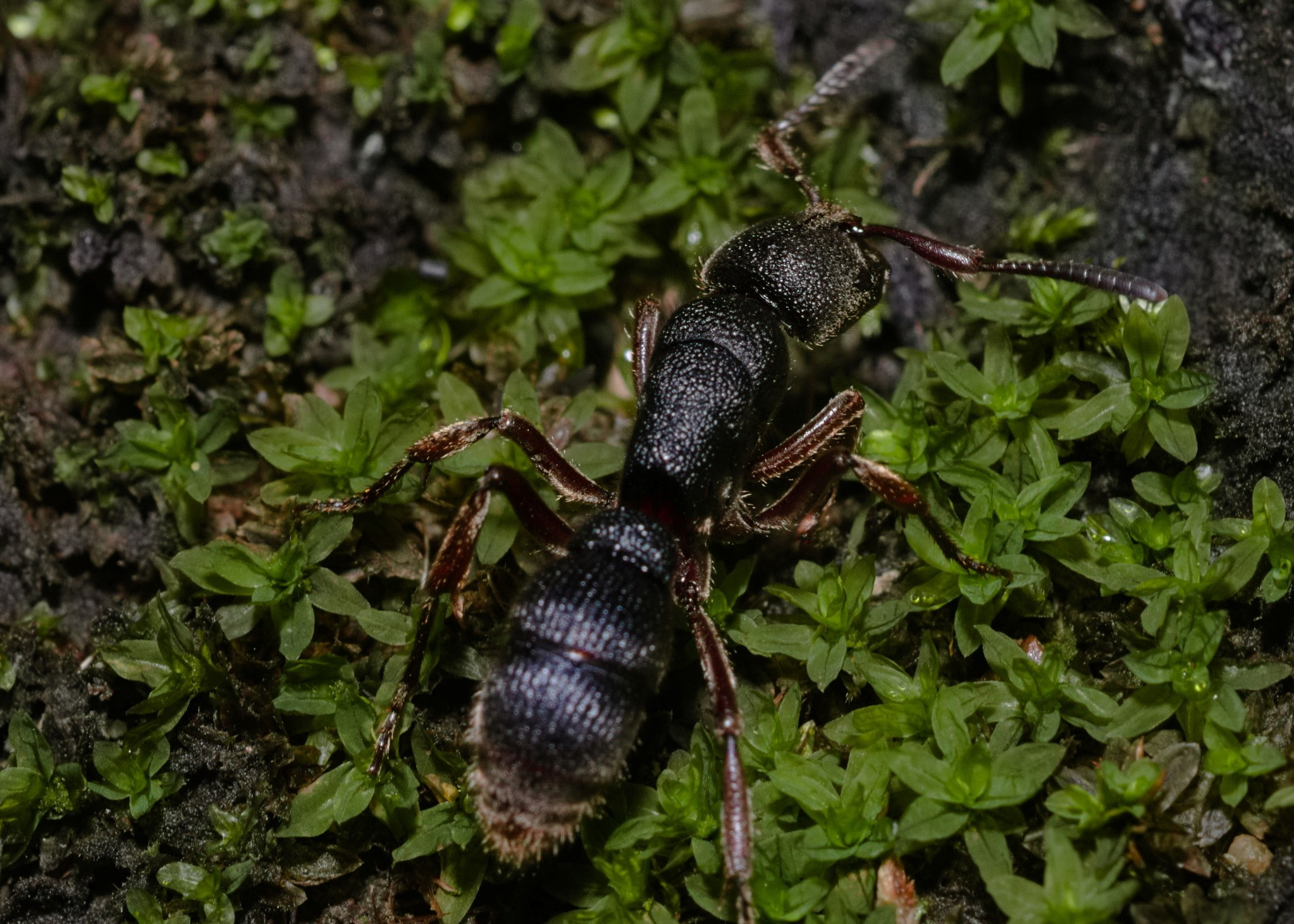Pseudoneoponera (Pachycondyla) Rufipes