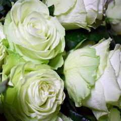 Роза флорибунда Васаби