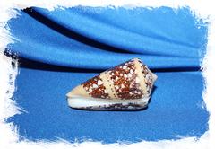 Раковина Conus ammiralis, Конус аммиралис