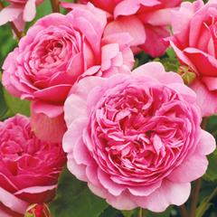 Роза парковая Принцесса Александра Кентская