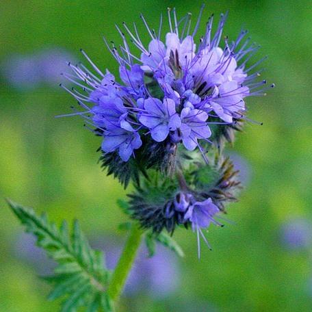 Фацелия цветок