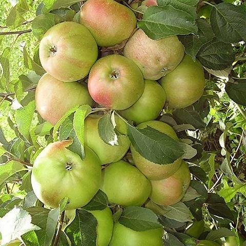 Яблоня колоновидная осенний сорт Гирлянда