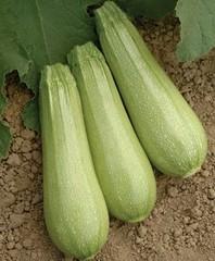 Семена кабачка Иоланта F1, (Seminis / Семинис)