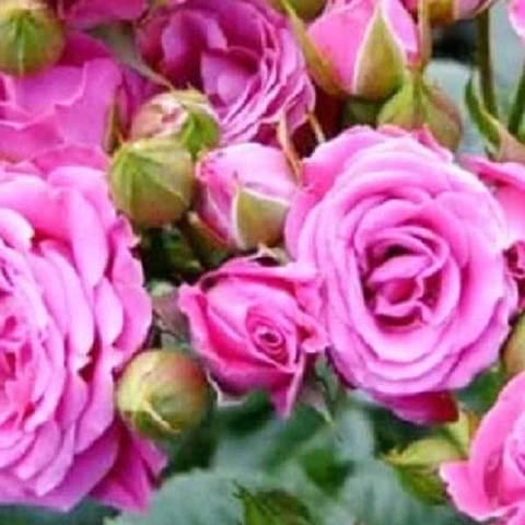 Заказать Роза миниатюрная Орион