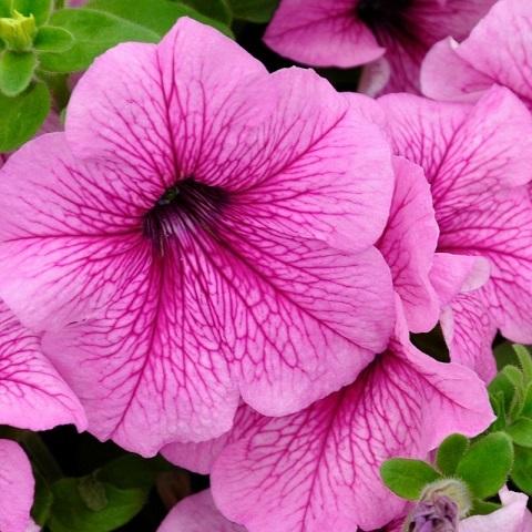 Петуния крупноцветковая розовая с прожилками
