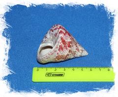 Конический Трохус 4 - 6 см.