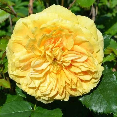 Роза парковая Голден Зест