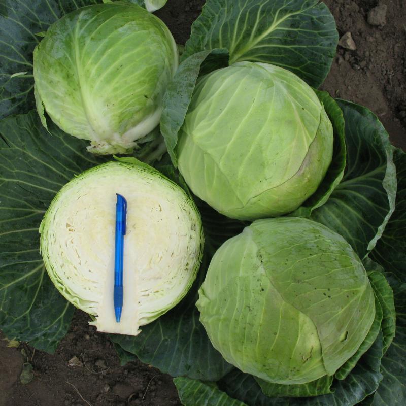 Белокочанная Кастелло F1 семена капусты белокочанной, (Hazera / Хазера) Кастелло_F1.jpg