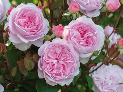 Роза чайно-гибридная Миранда
