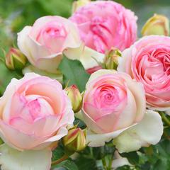 Роза плетистая Пьер де Ронсар