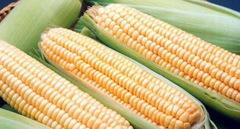 Супер Санданс F1 семена кукурузы, (Clause / Клос)