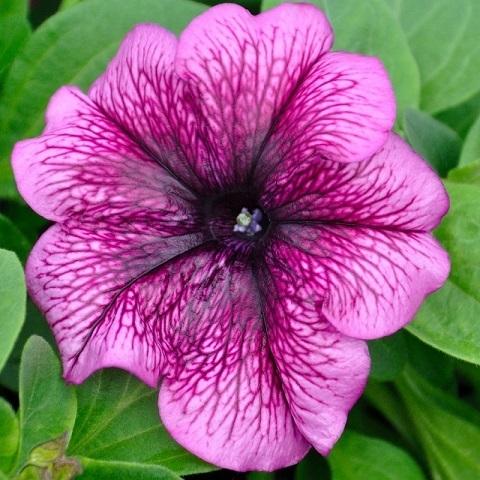 Петуния крупноцветковая фиолетовая с прожилками