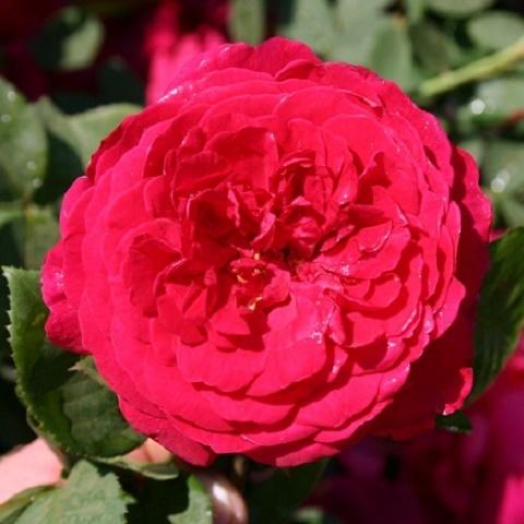 Роза английская душистая Тесс оф зе д'Эрбервилль