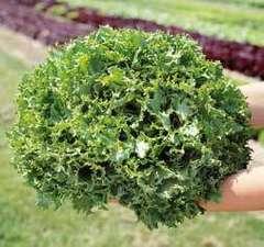 Канкан семена салата листовой, (Hazera / Хазера)