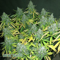 Auto Sweet Skunk Feminised