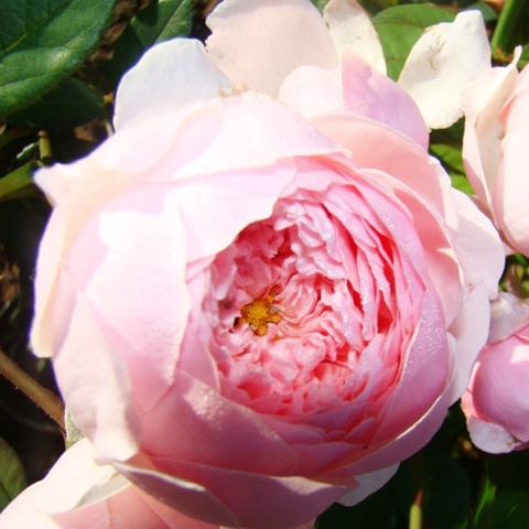 Роза парковая Зе Алнвик
