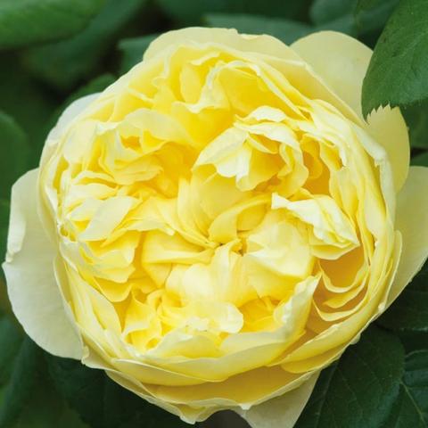 Роза парковая Чарльз Дарвин