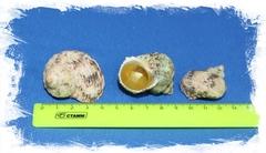 Турбо золотоустый 3 см - 4,5 см