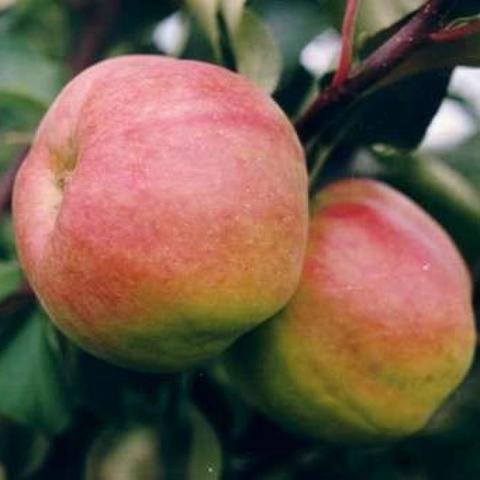 Яблоня домашняя Жигулевское (в тубе)