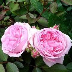Роза флорибунда Souvenir de Louis Amade