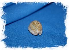 Ципрея океллата (Cypraea ocellata)