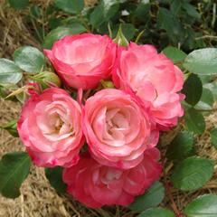 Роза почвопокровная Роза Пат Де Велюр