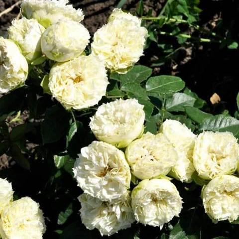 Роза миниатюрная Бланшет