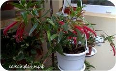 Колумнея, Crimson Spike (Kartuz)