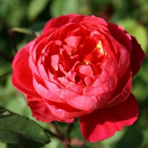 Роза английская душистая Бенджамин Бриттен