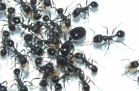 Муравьи messor structor - степные жнецы