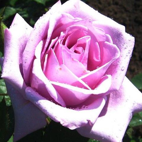 Роза чайно-гибридная Зи Си