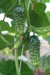 Мурашка F1 семена огурца партенокарпического (Гавриш)