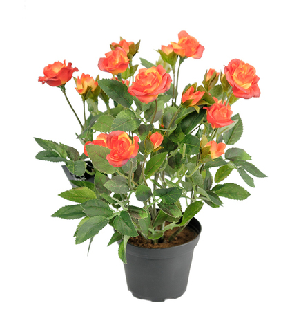 Роза патио Оранжевая Мандарина_room492