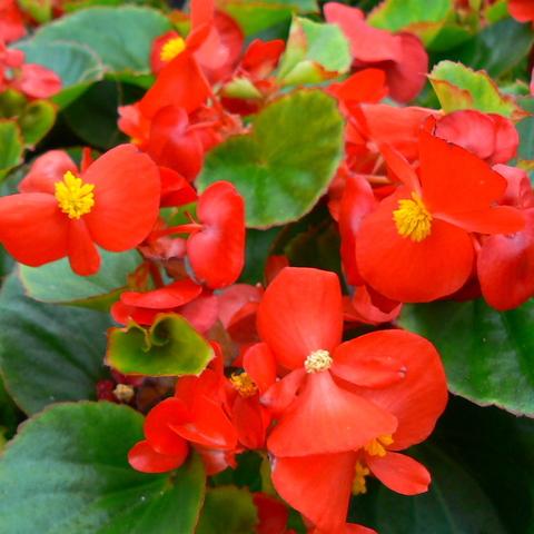 Семена Бегония вечноцветущая зеленолистная Монза Скарлет, 10 драже