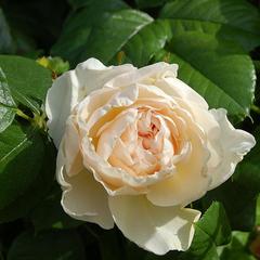 Роза плетистая Ютерзенер Клостеррозе