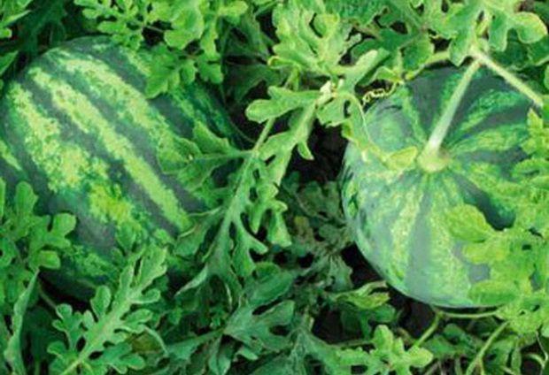 Арбуз Бостана F1 семена арбуза, (Syng.) Бостана_F1_семена_овощей_оптом.jpg