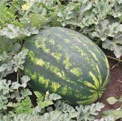 Варда F1 семена арбуза, (Hazera / Хазера)
