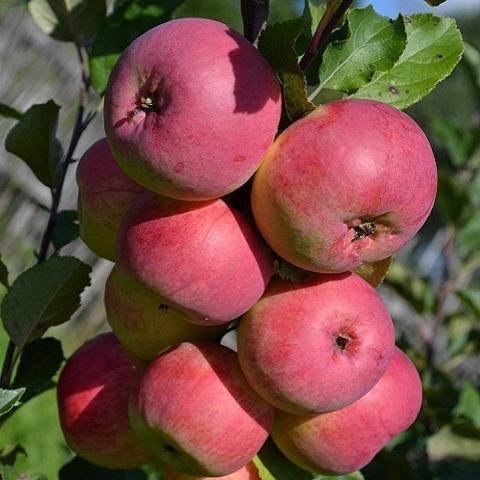 Яблоня зимний сорт ВЭМ Яркий