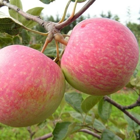 Яблоня осенний сорт Конфетное-2