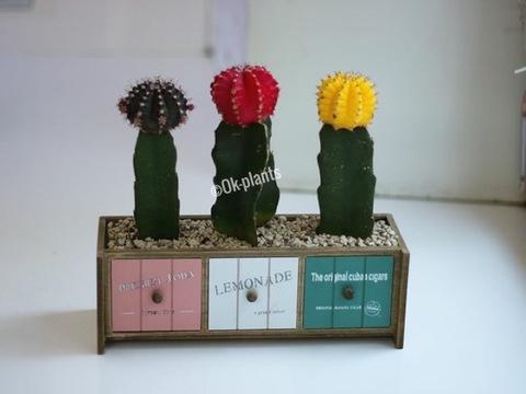 Композиция из кактусов «Светофор»