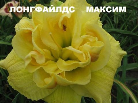 ЛОНГФИЛДС МАКСИМ -  лилейник