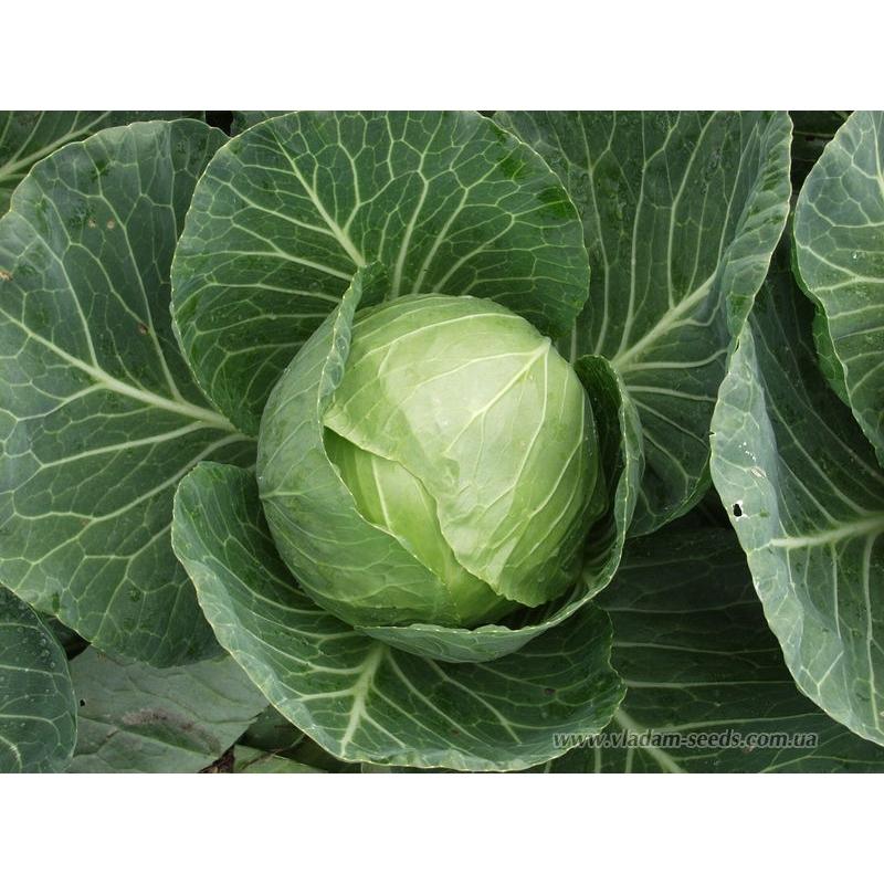 Белокочанная Сир F1 семена капусты белокочанной, (Clause / Клос) Сир_F1.jpg