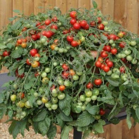 Томат ампельный (Красный, сладкий) Cherry fountain